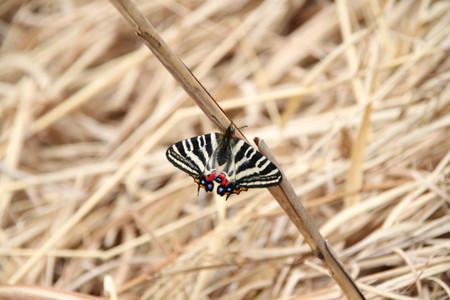 013 ギフチョウ 時期が早いからか、きれいな個体が多かったです。個体数は昨年の...  むしと